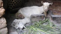 Tvillingene som ble født dagen før besøket. Hviledag for moren.