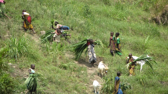 Bringing goats and fodder back from the field
