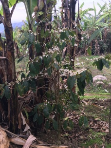 En kaffeplante som vokser blant bananplaner i Luale