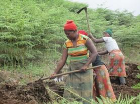 """Det nye """"Dalen"""" jordstykket er finansiert av inntekter fra prosjekter drevet av støttespillere fra Dalen i Telemerk. Til å begynne med var jordstykket, som ligger i nærheten av Tchenzema ungdomsskole, overgrodd med bregner og buskvekster. Da er det godt med utholdende landarbeidere med hakker. Og kvinnene er seigest og mest utholdende."""